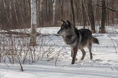 Black Phase Grey Wolf Canis lupus Kicks Up Snow Looking Left Stock Image