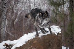 Black Phase Grey Wolf Canis lupus Leaps Off Rock. Captive animal Royalty Free Stock Photo