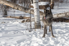 Black Phase Grey Wolf Canis lupus Licks Nose Looking Left Stock Photo
