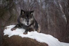 Black Phase Grey Wolf Canis lupus Lies Atop Rock Winter royalty free stock image