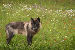 Black Phase Grey Wolf Canis lupus Looks Back in Field Stock Photos