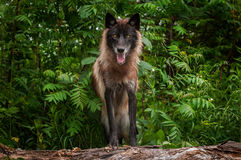 Black Phase Grey Wolf Canis lupus Looks Out from Atop Log Royalty Free Stock Photo