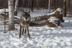 Black Phase Grey Wolf Canis lupus Looks Out from Forest Stock Photography