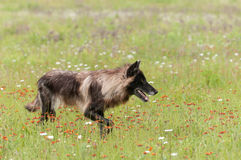 Black Phase Grey Wolf (Canis lupus) Looks Right in Field Royalty Free Stock Images