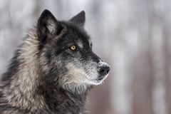 Black Phase Grey Wolf Canis lupus Looks to the Right. Captive animal Royalty Free Stock Images