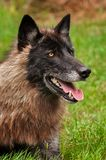 Black Phase Grey Wolf Canis lupus Looks Up From Ground stock photography