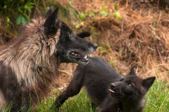 Black Phase Grey Wolf (Canis lupus) Looks Up in Profile Royalty Free Stock Photography