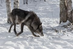 Black Phase Grey Wolf Canis lupus Moves Right. Captive animal Royalty Free Stock Images