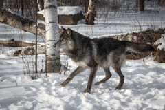 Black Phase Grey Wolf Canis lupus Moves to Left Royalty Free Stock Images