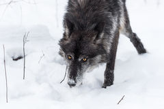 Black Phase Grey Wolf Canis lupus Nose Down Through Snow Royalty Free Stock Images