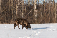 Black Phase Grey Wolf Canis lupus Nose Down in Snowy Field Royalty Free Stock Image