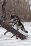 Black Phase Grey Wolf Canis lupus Paw Up on Log Royalty Free Stock Image