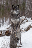 Black Phase Grey Wolf Canis lupus Paws On Stump Royalty Free Stock Photo