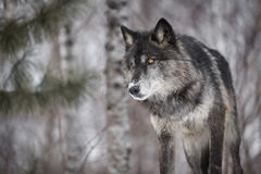 Black Phase Grey Wolf Canis lupus Peers Out Intently. Captive animal Royalty Free Stock Photos