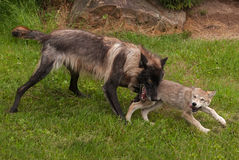 Black Phase Grey Wolf (Canis lupus) Plays with Pup Stock Photography