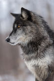 Black Phase Grey Wolf Canis lupus Profile Vertical Royalty Free Stock Image