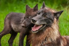 Black Phase Grey Wolf Canis lupus and Pup Head to Head. Captive animals Stock Images