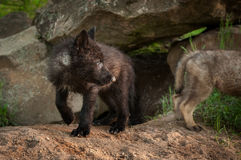 Black Phase Grey Wolf Canis lupus Pup Looks Right. Captive animals Royalty Free Stock Photos