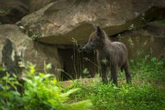 Black-Phase Grey Wolf Canis lupus Pup Near Den. Captive animal Royalty Free Stock Photography
