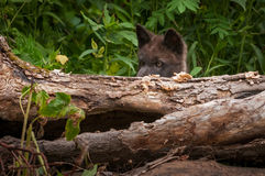 Black Phase Grey Wolf Canis lupus Pup Peers Over Log. Captive animal Stock Photos