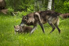 Black-Phase Grey Wolf Canis lupus and Pups Royalty Free Stock Photos
