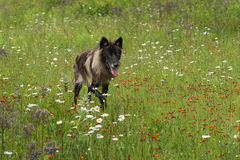 Black Phase Grey Wolf (Canis lupus) Runs in Field Stock Images