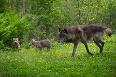 Black Phase Grey Wolf Canis lupus Runs With Pups Stock Photo