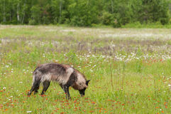 Black Phase Grey Wolf (Canis lupus) Sniffs in Field Royalty Free Stock Images