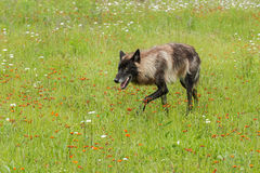 Black Phase Grey Wolf (Canis lupus) Stalks Left Through Field Stock Photos