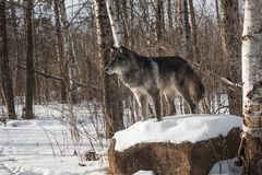 Black Phase Grey Wolf Canis lupus Stands Atop Snowy Rock Winter stock image