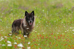 Black Phase Grey Wolf (Canis lupus) Stands in Field stock photography