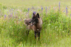Black Phase Grey Wolf (Canis lupus) Stands in Lupin Royalty Free Stock Photography