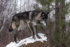 Black Phase Grey Wolf Canis lupus Stands on Rock Stock Photo