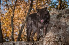 Black Phase Grey Wolf Canis lupus Stands on Rock Licking Nose. Captive animal Royalty Free Stock Images