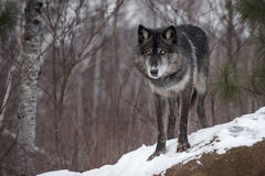 Black Phase Grey Wolf Canis lupus Stares Out from Atop Rock Royalty Free Stock Photography