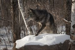 Black Phase Grey Wolf Canis lupus Steps Up on Rock Winter stock images