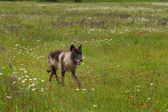 Black Phase Grey Wolf (Canis lupus) Trots Through Field Royalty Free Stock Image