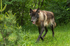 Black Phase Grey Wolf (Canis lupus) Trots Forward Stock Image