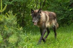 Black Phase Grey Wolf (Canis lupus) Trots Forward Stock Image