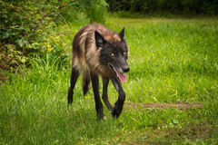 Black Phase Grey Wolf Canis lupus Trots Right. Captive animal Royalty Free Stock Photo
