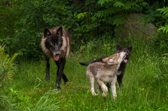 Black Phase Grey Wolf (Canis lupus) and Two Pups Royalty Free Stock Photo