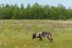 Black Phase Grey Wolf (Canis lupus) Walks Through Field Stock Photo