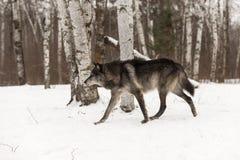 Black Phase Grey Wolf Canis lupus Walks Left Through Woods. Captive animal Royalty Free Stock Image