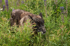 Black Phase Grey Wolf (Canis lupus) Walks Through Lupin Patch Royalty Free Stock Photography