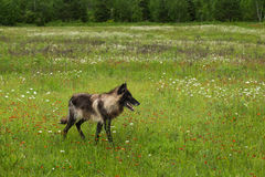 Black Phase Grey Wolf (Canis lupus) Walks Right in Field Stock Photos