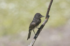 Black Phoebe Stock Image
