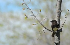 Black phoebe Stock Photography