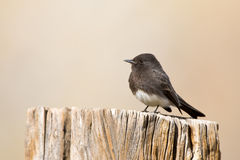 Black Phoebe, Arizona Stock Photos