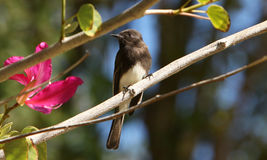 Black Phoebe in Orchid Tree Royalty Free Stock Photo
