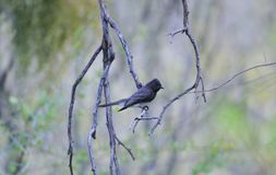 Black Phoebe in the Sonoran Desert. Black phoebe perched on branch near water source in the Sonoran Desert, Arizona, United States Royalty Free Stock Photo